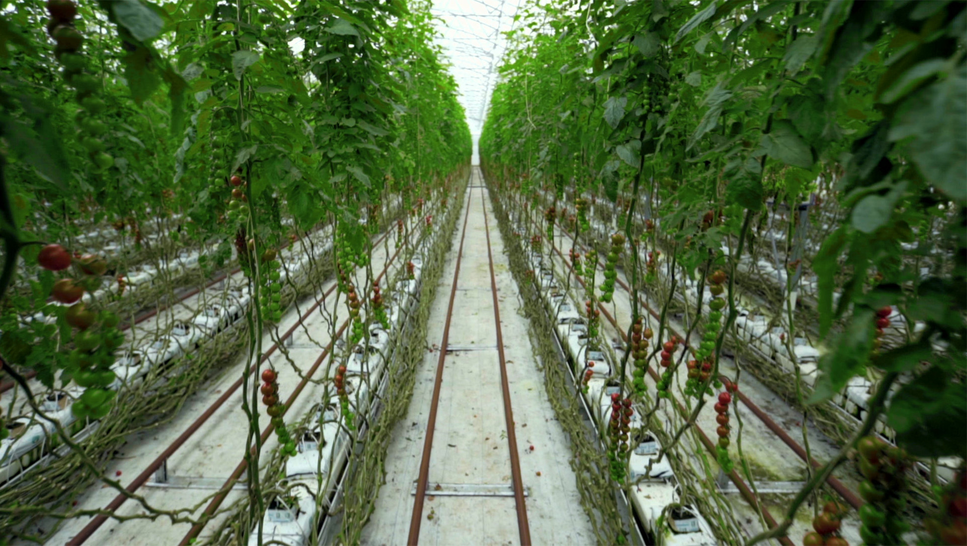 Tomato farming and production in greenhouse | Cat phones